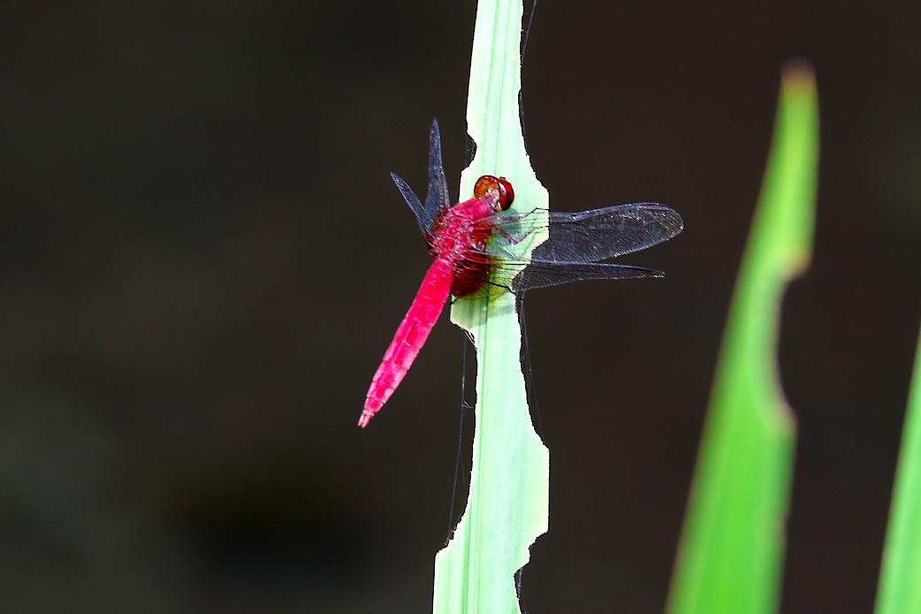 蜻蛉さん_3