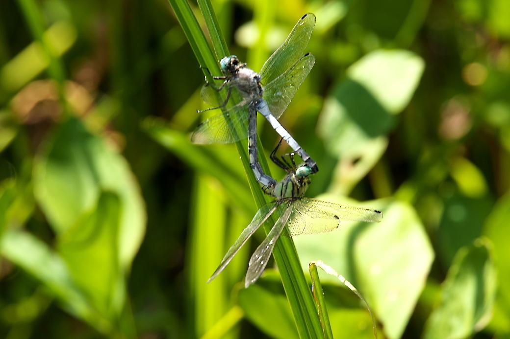 蜻蛉さん_1