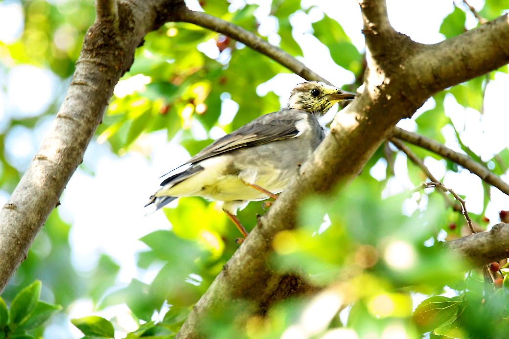 ムクドリの若鳥(?)_1