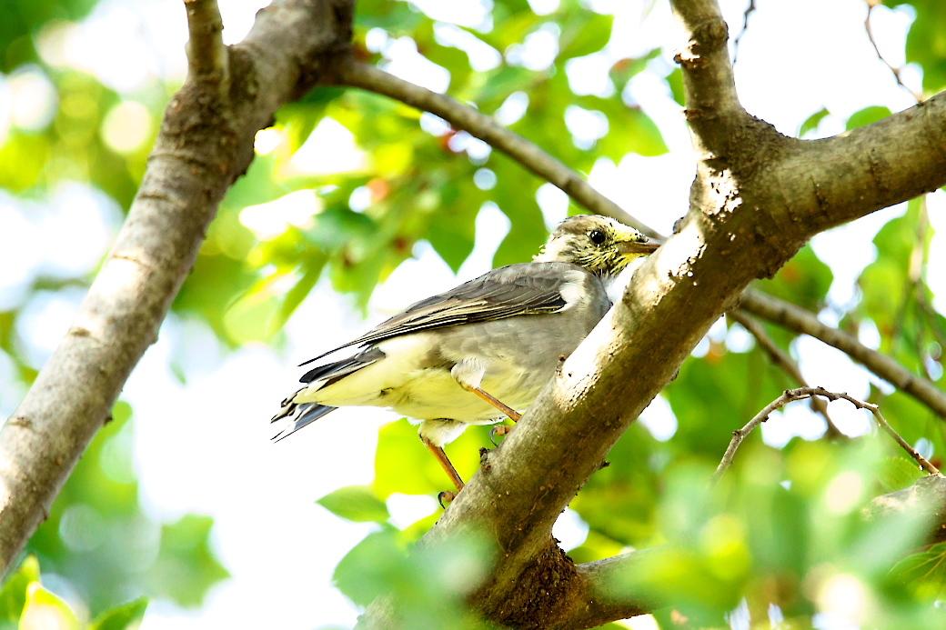 ムクドリの若鳥(?)_2