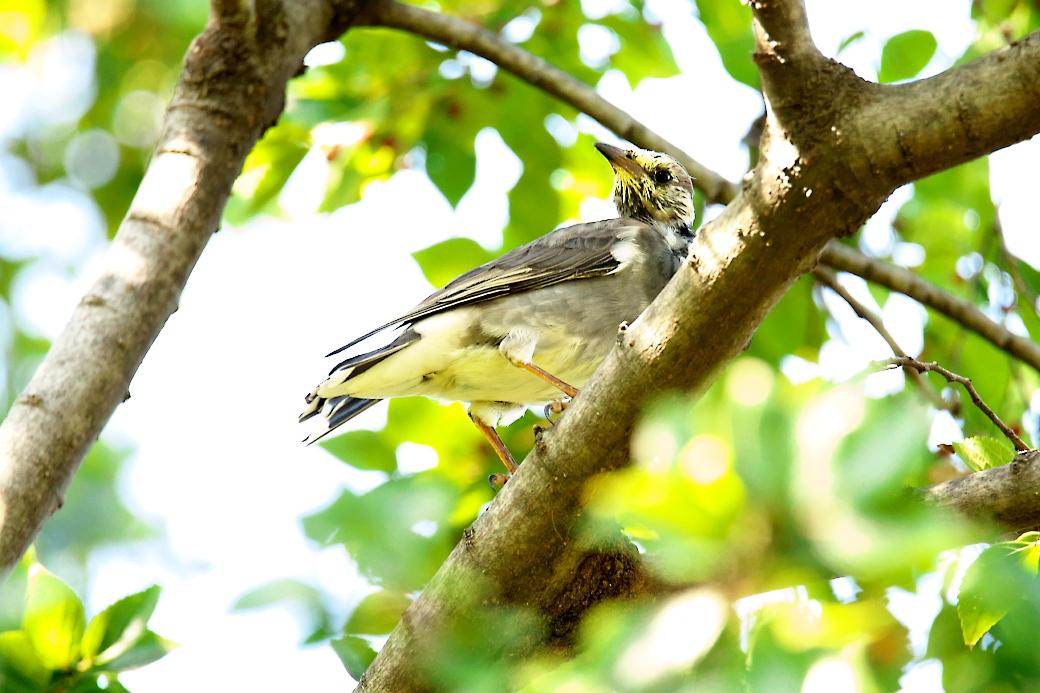 ムクドリの若鳥(?)_3
