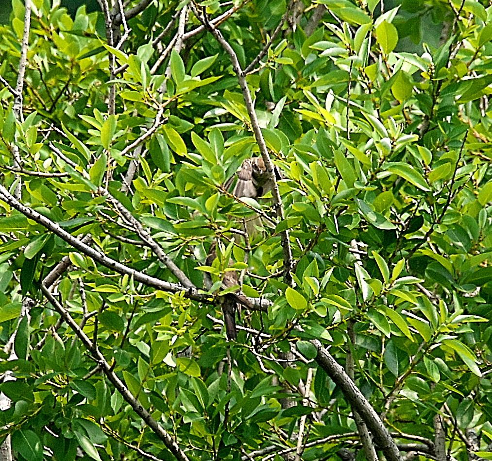 モズの若鳥とオオヨシキリの若鳥と_1