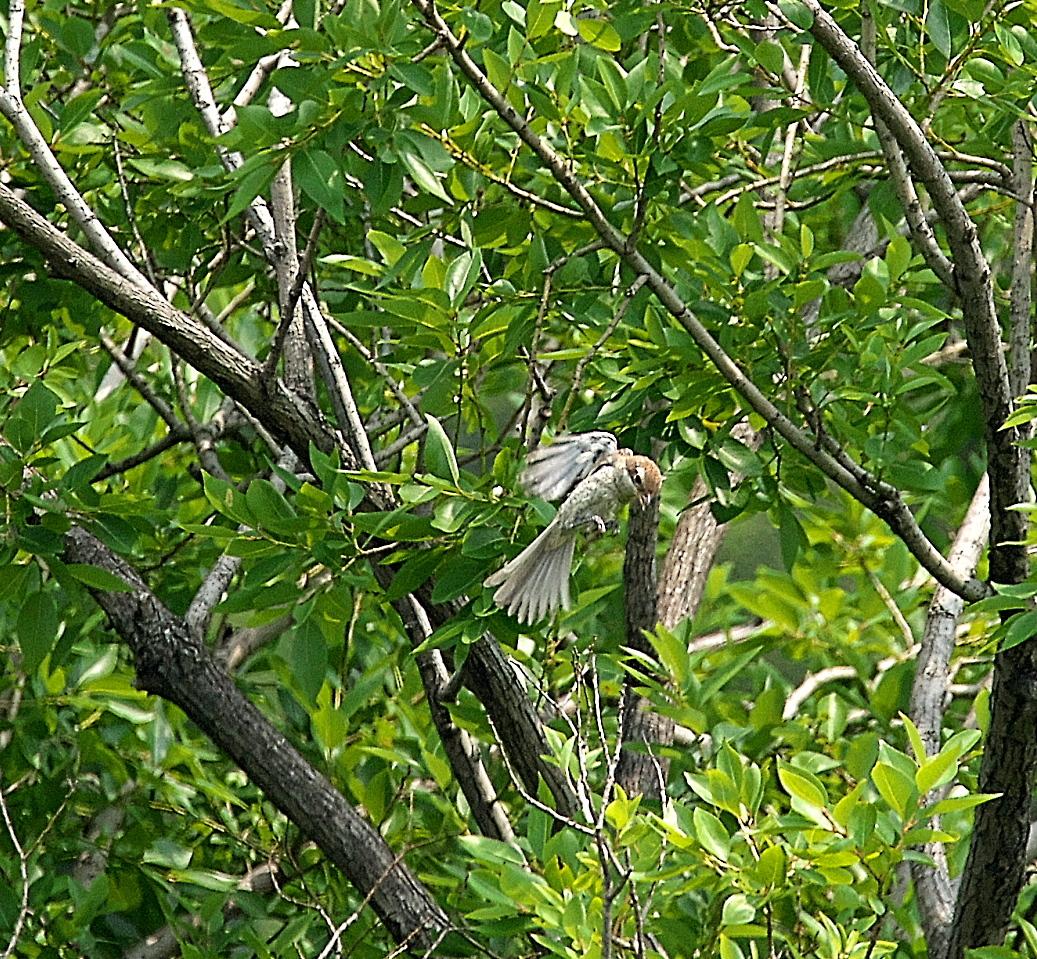 モズの若鳥とオオヨシキリの若鳥と_2