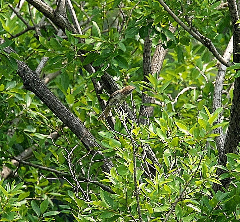 モズの若鳥とオオヨシキリの若鳥と_3
