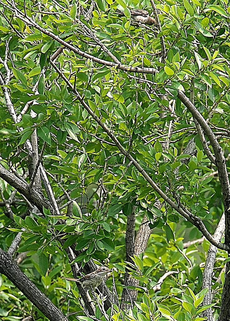 モズの若鳥とオオヨシキリの若鳥と_8
