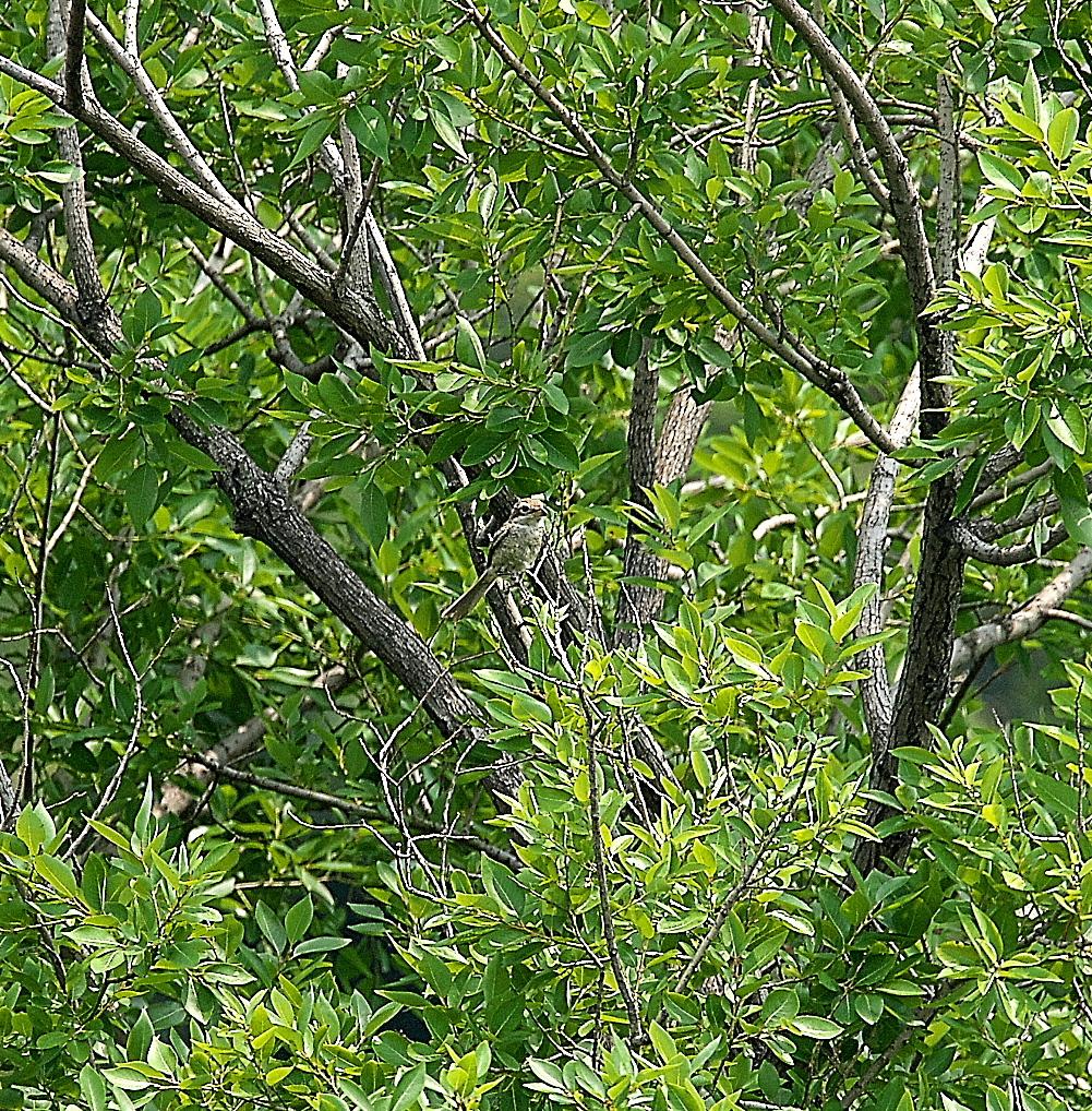 モズの若鳥とオオヨシキリの若鳥と_11