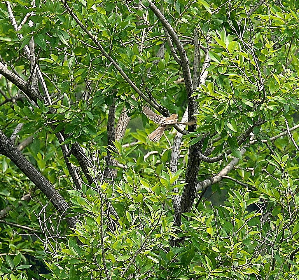 モズの若鳥とオオヨシキリの若鳥と_12