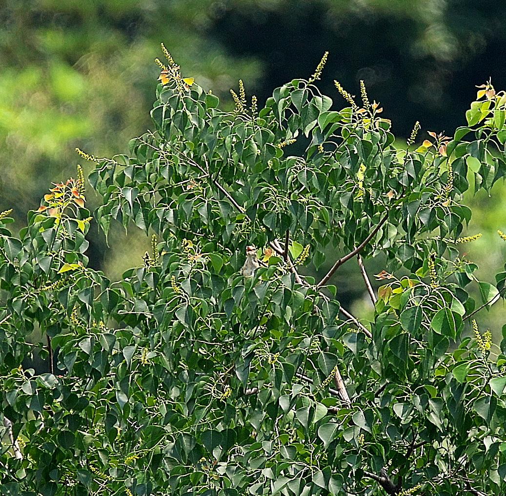 モズの若鳥とオオヨシキリの若鳥と_14