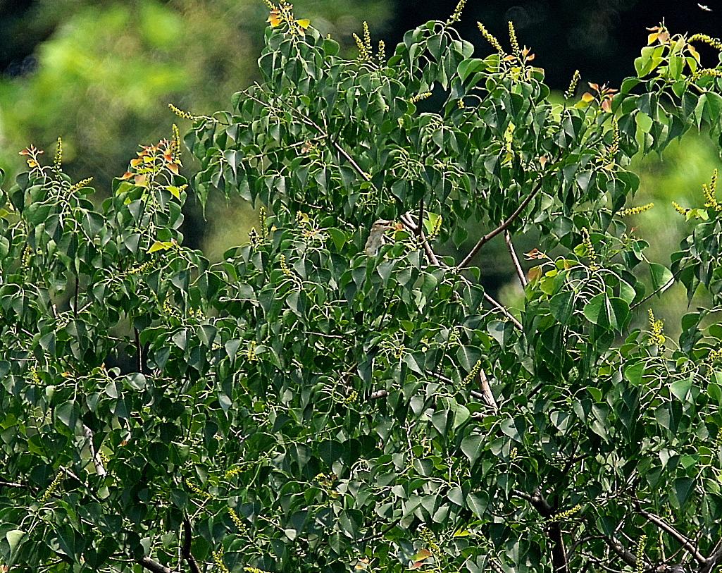 モズの若鳥とオオヨシキリの若鳥と_15