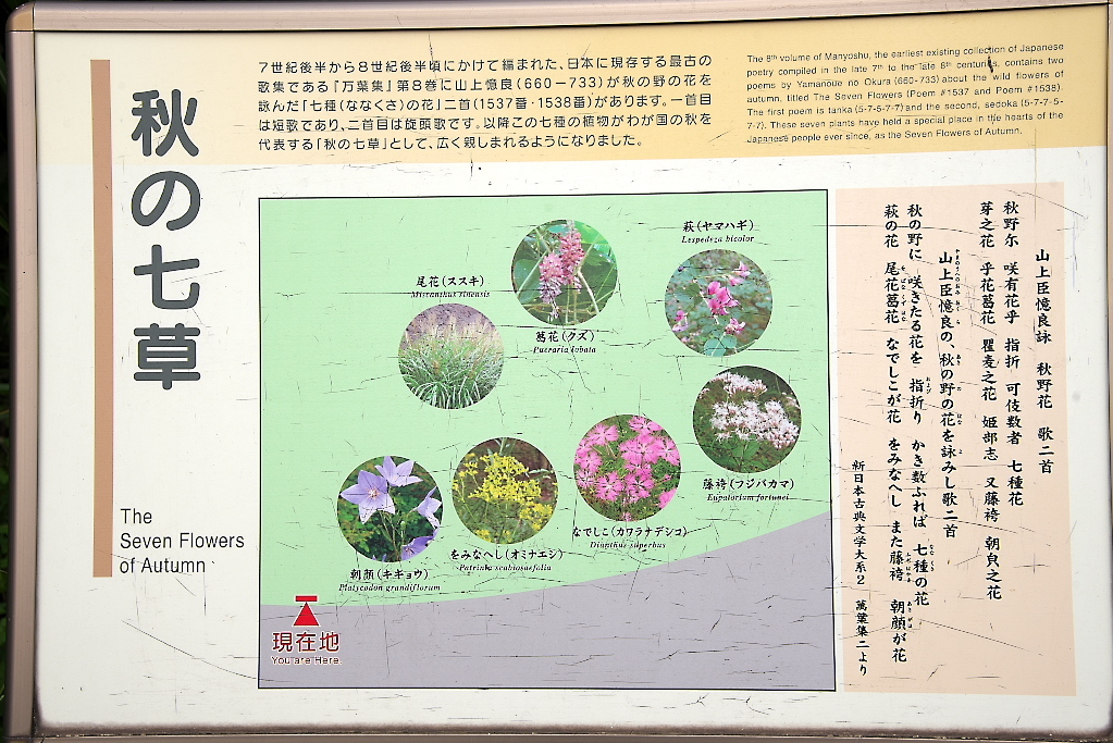 秋の七草_4