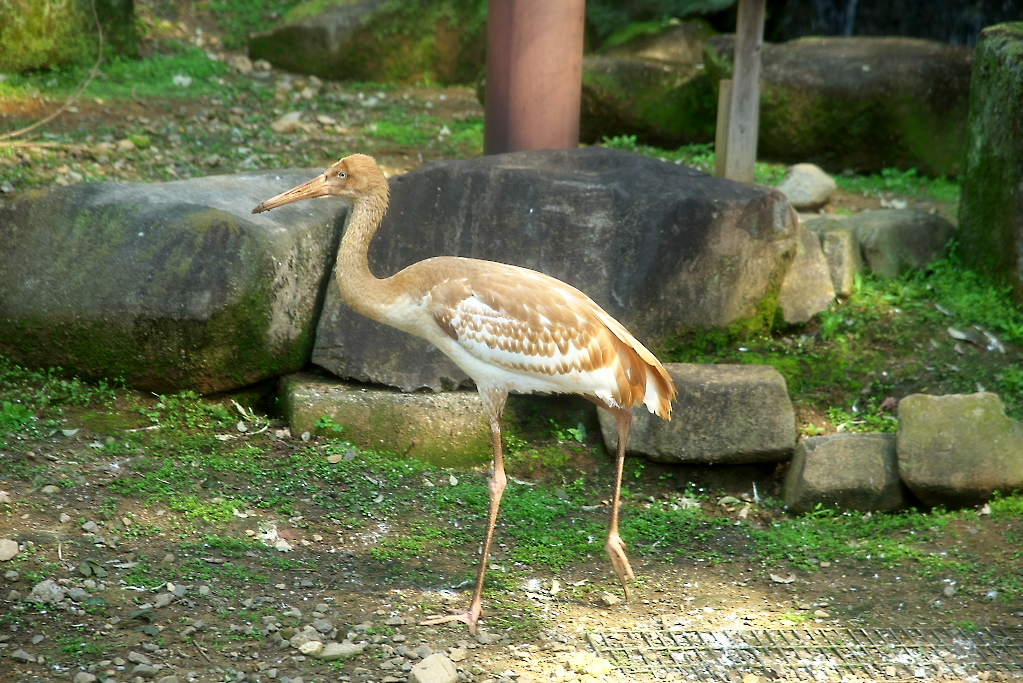 ソデグロヅルと鴛鴦_7