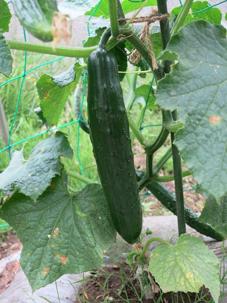 家庭菜園 7月3日 キュウリ 初収穫