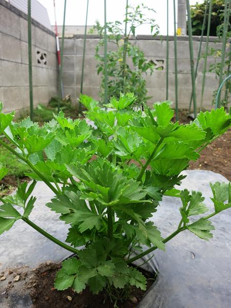 家庭菜園 7月3日 セロリ