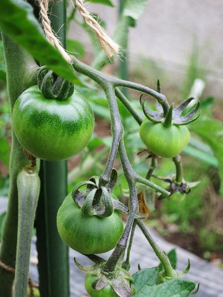 家庭菜園 7月3日 大玉トマト
