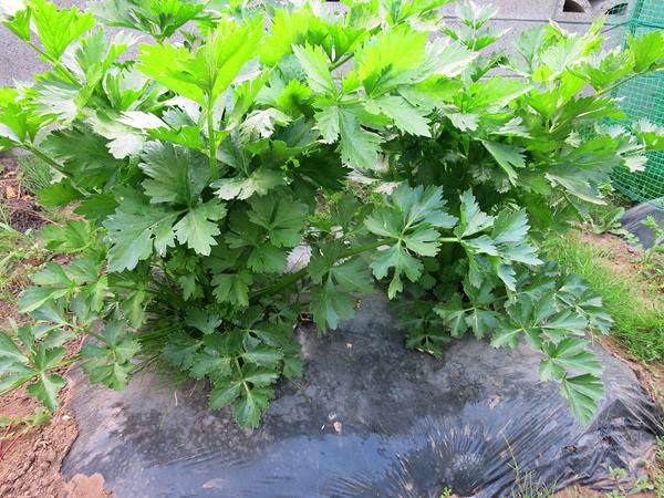 家庭菜園 セロリ