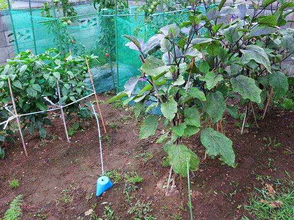 家庭菜園 ナス アーリーセーフ