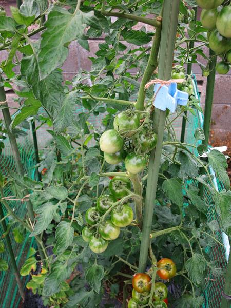 家庭菜園 トマト つるおろし