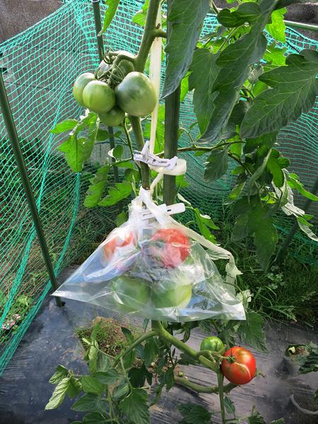 家庭菜園 青いトマト 袋掛け