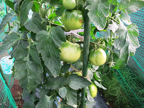 家庭菜園 青いトマト