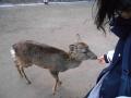 200209道すがらの鹿に鹿せんべいをあげる