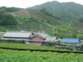 190720石寺の茶畑