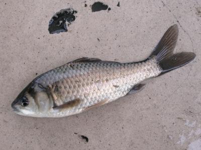 ニゴロブナ(成魚)