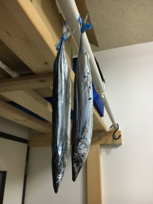サンマの丸干しはこんな風に尻尾を紐で結んで棒に振り分けにぶら下げて干してあります