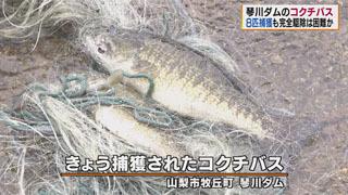 琴川ダムで捕獲されたスモールマウスバス