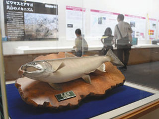 琵琶湖博物館で開催中の企画展「海を忘れたサケ ビワマスの謎に迫る」