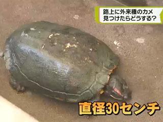宮崎市の道路で通りかかった人に捕獲されたミドリガメ