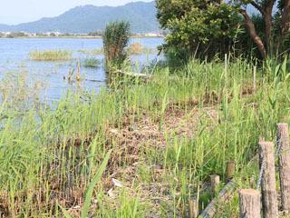 無許可伐採された伊庭内湖のヨシ原