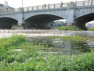 鴨川の七条大橋周辺に繁茂するオオバナミズキンバイ