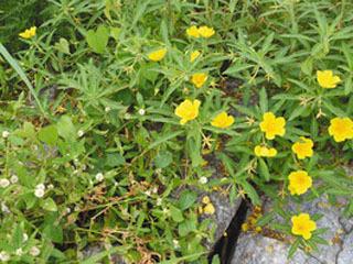 小さな白い花が特徴のナガエツルノゲイトウと黄色い花を咲かせたオオバナミズキンバイ