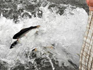 安曇川人工河川に放流される養殖親アユ