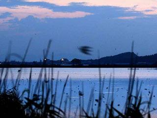 西の湖のヨシ原にねぐら入りするツバメ