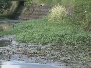 琵琶湖のナガエツルノゲイトウ