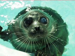 死亡した琵琶湖博物館のバイカルアザラシ・マリ