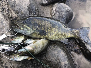 揖斐川でキャッチされたスモール