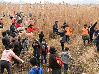 雄琴湖岸で行われた「市民ヨシ刈り」
