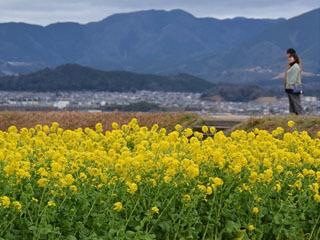 見頃を迎えた守山湖岸の菜の花