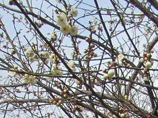 例年より1カ月早く咲き始めが長浜豊公園のサクラ