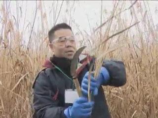赤野井湾のヨシ刈りに参加した三日月大造滋賀県知事