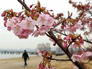 琵琶湖岸を彩る由美浜なぎさ公園の河津桜