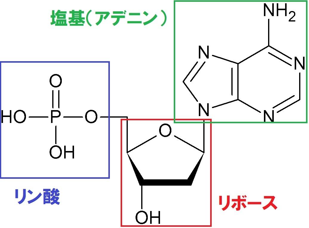 ヌクレオチドの構造