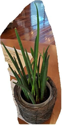 初見の観葉植物