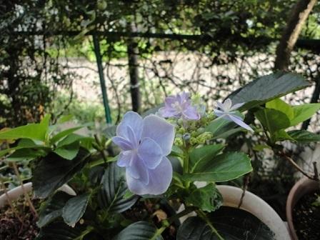 また咲いてる紫陽花①