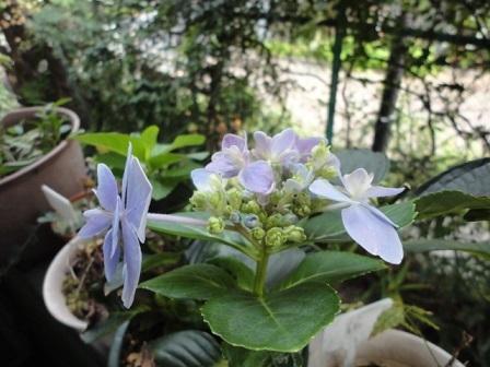 また咲いてる紫陽花②