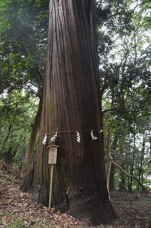 20190708賀茂神社の大杉12