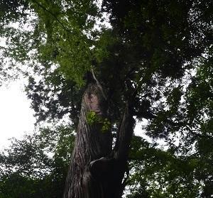 20190708賀茂神社の大杉11