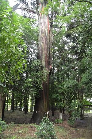20190708賀茂神社の大杉22